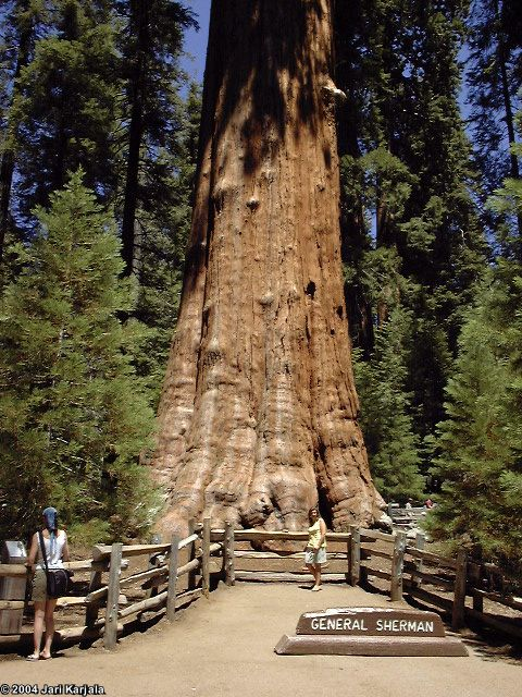 Maailman Pisin Puu